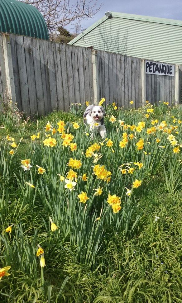 daffodils4 13 9 15