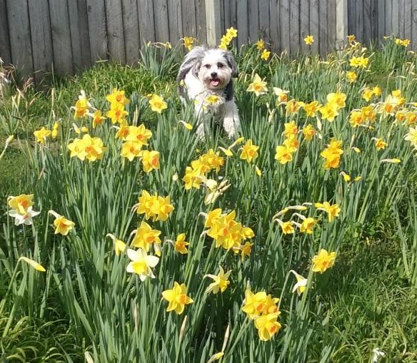 daffodils5 13 9 15